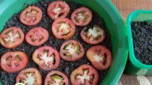 Cara Mudah Menanam Tomat Hidroponik
